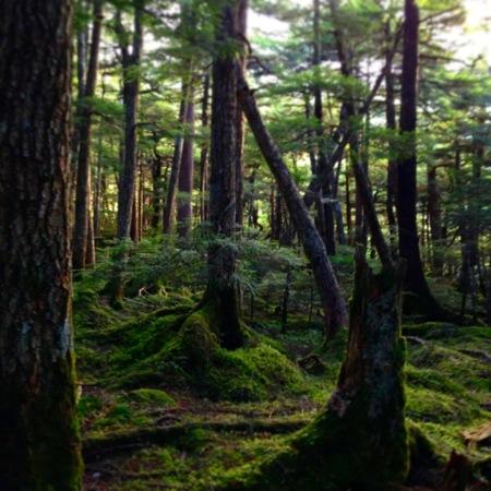 白駒池へ行く途中の苔の森