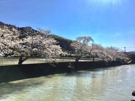 周辺の桜並木