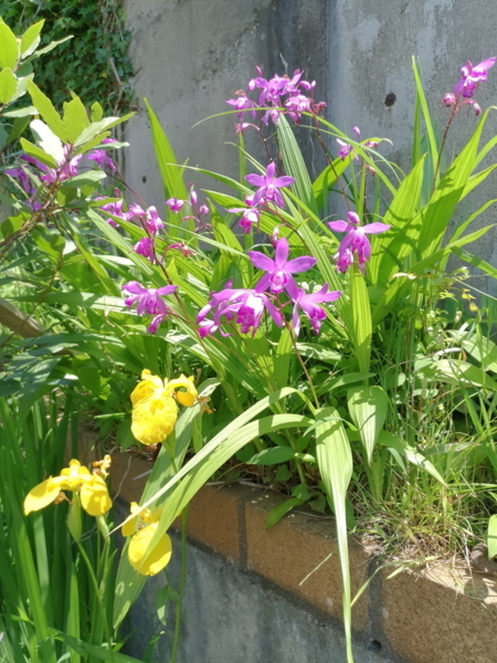 黄菖蒲や紫蘭がきれいです。