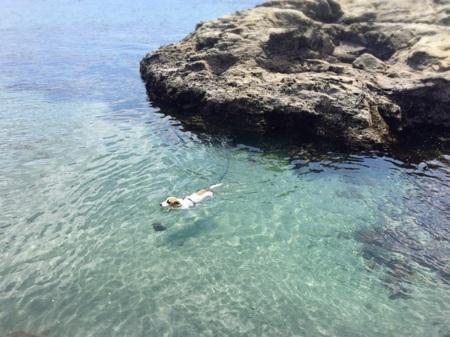 看板犬EDDIE 泳ぎが得意です透明度◎